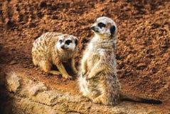 Two meerkats standing up stock images