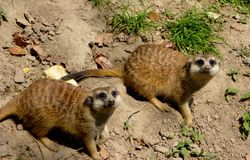 Two Meerkats looking up Stock Image