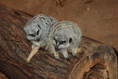 Two meerkats in Love. Two meerkats sitting on a log Stock Photography
