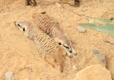 Two meerkats lying on sand. Two tired meerkats - Suricata suricatta lying and having rest on sand in ZOO Prague, Czech Republic Stock Images