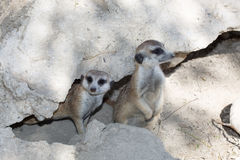 Two meerkats near the stone. Two meerkats on guard near the stone Royalty Free Stock Image