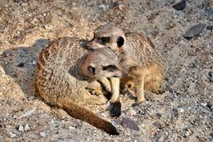 Two meerkats playing Stock Images