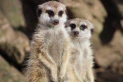 Two meerkats. Posing at zoo Royalty Free Stock Photos