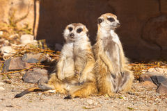Two Meerkats relaxing. Two Meerkats sitting together, sunbathing and relaxing against a blurred background, Kimberley, South Africa Royalty Free Stock Images