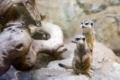 Two meerkats on a rock. The meerkat or suricate Suricata suricatta is a small carnivoran belonging to the mongoose family Herpestidae Royalty Free Stock Photo