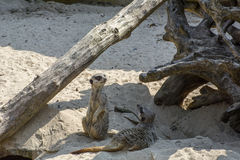 Two meerkats on the sand. In the day Stock Photos