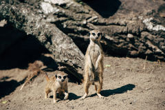 Two meerkats on sand. Two meerkat sit on sand and looking ahead Royalty Free Stock Images