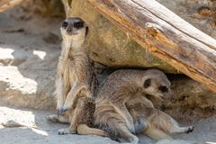 Two Meerkats Sat Under Rock stock images