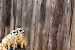 Two meerkats sitting on a tree stump staring in the distance. Two meerkats sitting close together on a tree stump staring in different directions into the Royalty Free Stock Photo