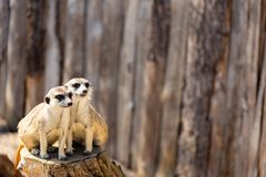 Two meerkats sitting on a tree stump staring in the distance. Two meerkats sitting close together on a tree stump staring in the same direction into the distance Stock Photography