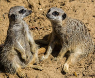 Two Meerkats sitting on sand facing. Two Meerkat sitting at animal sanctuary,Mablethorpe,Lincolnshire Stock Photos