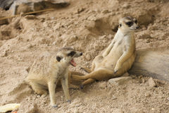 Two Meerkats sitting. Together and looking something Royalty Free Stock Images