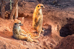 Two meerkats stand guard. The two little meerkats stand guard in the desert Royalty Free Stock Image