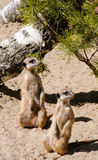 Two meerkats standing on guard. In sunny day Royalty Free Stock Images