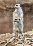 Two meerkats. Standing in the identical positions Stock Photos
