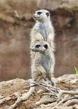 Two meerkats Stock Photos