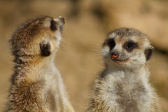 Two meerkats standing on rear legs Royalty Free Stock Photo