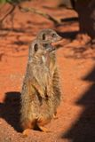 Two Meerkats Stood Stock Image
