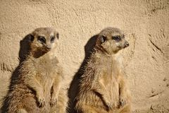 Two meerkats sunbathing while leaning against a rock. Two lazy meerkats sunbathing while leaning against a rock Stock Photo