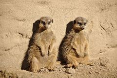 Two meerkats sunbathing while leaning against a rock. Two lazy meerkats sunbathing while leaning against a rock Stock Images