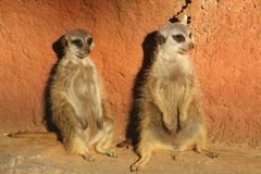 Two Meerkats Suricata. With a reddish wall as a background Stock Image