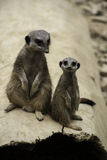 Two meerkats, Suricata suricatta. A desert mongoose from Africa, standing up looking alertly at the camera Stock Photography