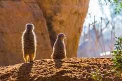 Two meerkats suricata standing on the ground in backlit royalty free stock image