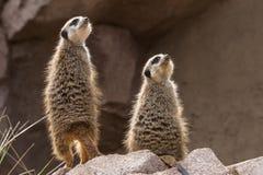 Two meerkats or suricates look upwards. Two meerkats look upwards small carnivoran belonging to the mongoose family Stock Image