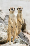 Two Meerkats or Suricates  (Suricata suricatta) Stock Image