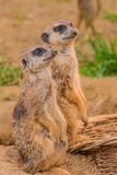 Two meerkats or suricats standing on sand. Two meerkats or suricats standing on Stock Photography