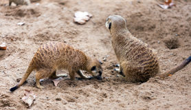 Two meerkats. Togehter (Suricata suricatta) on ground Stock Photography