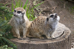 Two meerkats on a tree stump Stock Photography