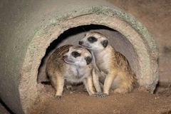 Two Meerkats. royalty free stock images
