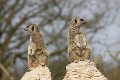 Two Meerkats on two rocks Stock Images
