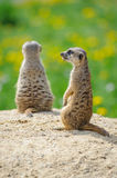 Two Meerkats on watch. On sandy ground with green grass on background Stock Photo
