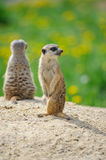 Two Meerkats on watch. On sandy ground with green grass on background Royalty Free Stock Images