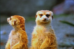 Two meerkats on watch. Two meerkats watching over their family in zoo Stock Images