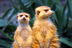 Two meerkats on watch. Two meerkats watching over their family in zoo Royalty Free Stock Images