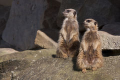 Two meerkats. On watch in a zoo Royalty Free Stock Photography