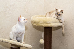 Two Mekongs sitting on the cat's playground Stock Images