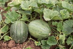 Two melons Royalty Free Stock Photography