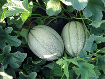 Two melons Royalty Free Stock Photo
