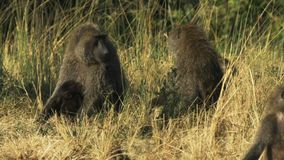 Two members of a baboon troop quarrel in masai mara game reserve stock footage