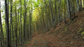 Two Men With Backpacks are on the Trail. Carpathian Mountains. Ukraine. Path in the Deciduous Forest. Carpathian Mountains. Ukraine.Aerial Fly Under Trees stock footage