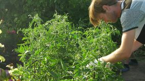 Two men care and clean bush tomato. Checks the quality of plants. stock video