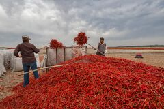 Two Men Collecting Hot Pepper Royalty Free Stock Images