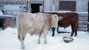 Two men cow on the ground, and turned back to face. The camera.  Farm ranch  cows eating hay during winter stock video footage