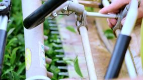 Two men gather tea at a tea plantation with an automatic clipper for cutting, cutting and assembling tea. Slow motion stock video footage