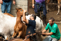 Two Men and one horse. PONTEVEDRA - AUG 2: Two fighter holds a wild horse in a traditional celebration Haircut the beasts on August 2, 2009 in Pontevedra, Spain Royalty Free Stock Images