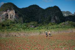 Two men walking a tobacco field with hoes. Two men walking a tobacco field with their hoes in Vinales Valley, Cuba Stock Images